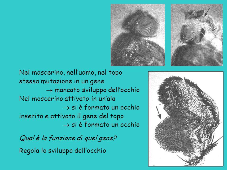 Nel moscerino, nelluomo, nel topo stessa mutazione in un gene mancato sviluppo dellocchio Nel moscerino attivato in unala si è formato un occhio inser