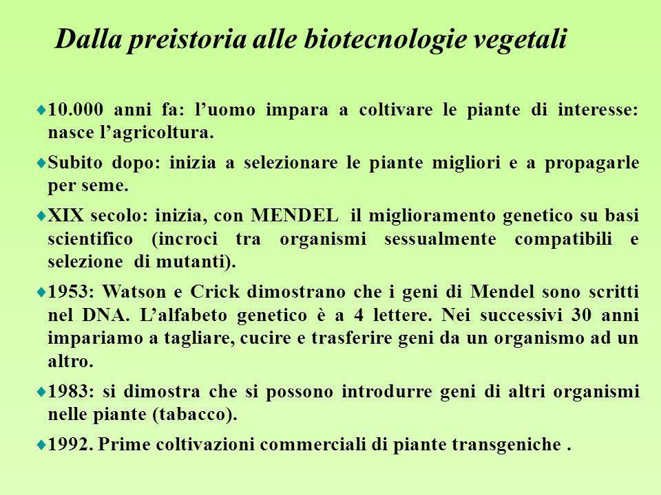 Quali mezzi abbiamo oggi per il miglioramento delle piante coltivate INCROCIO (Nuove varietà, ibridi F1) Mezzi tradizionali: MUTAZIONE (Spontanea o indotta da agenti chimici o radiazioni) Una recente aggiunta: INGEGNERIA GENETICA (trasferisce geni esogeni superando le barriere sessuali)