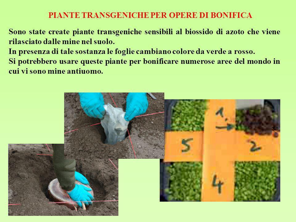 PIANTE TRANSGENICHE PER OPERE DI BONIFICA Sono state create piante transgeniche sensibili al biossido di azoto che viene rilasciato dalle mine nel suo