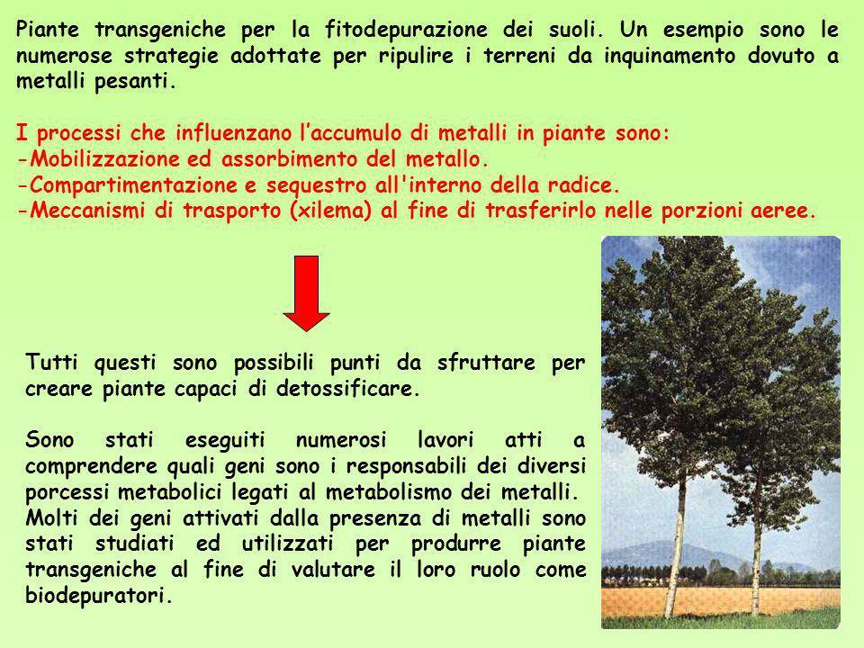 Piante transgeniche per la fitodepurazione dei suoli. Un esempio sono le numerose strategie adottate per ripulire i terreni da inquinamento dovuto a m