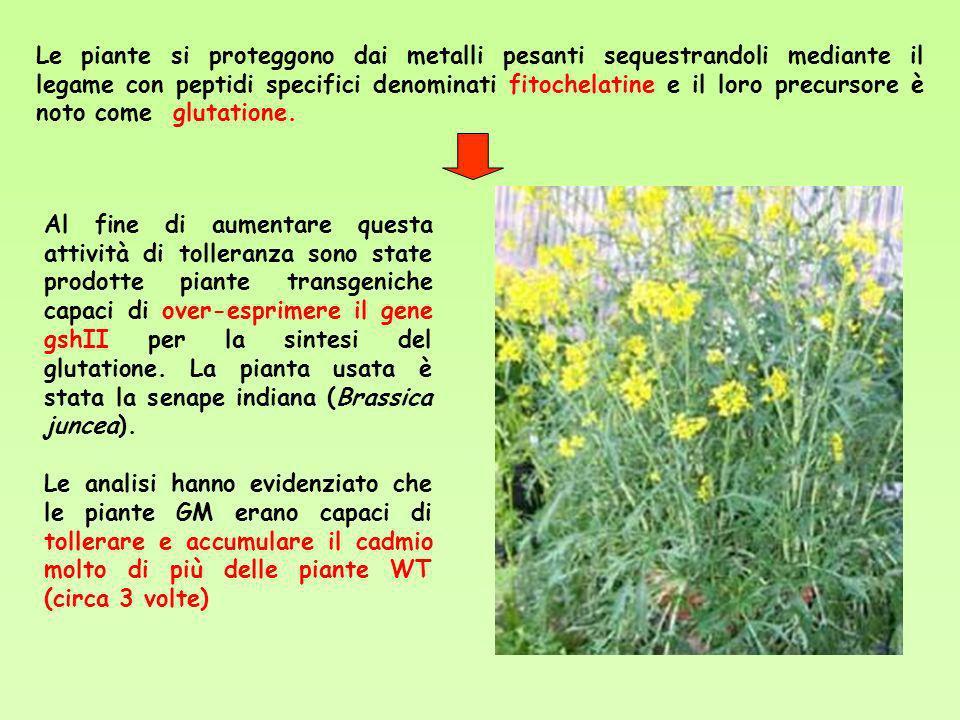 Le piante si proteggono dai metalli pesanti sequestrandoli mediante il legame con peptidi specifici denominati fitochelatine e il loro precursore è no