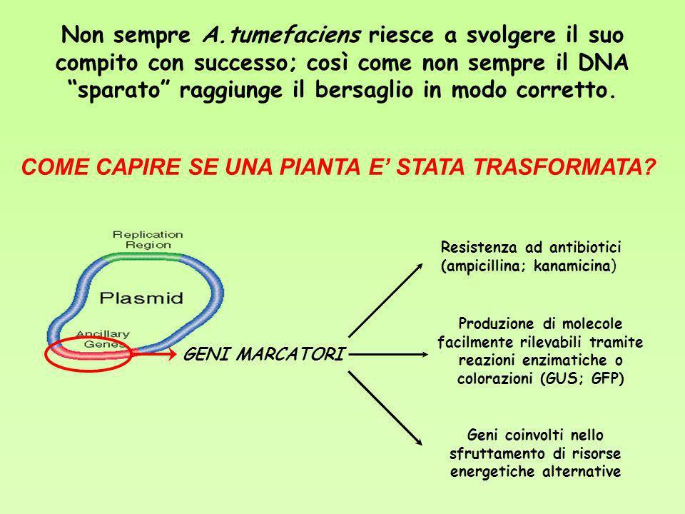 Resistenza ad antibiotici Attività enzimatica normalmente non presente nella pianta di partenza: Gene GUS da E.coli.