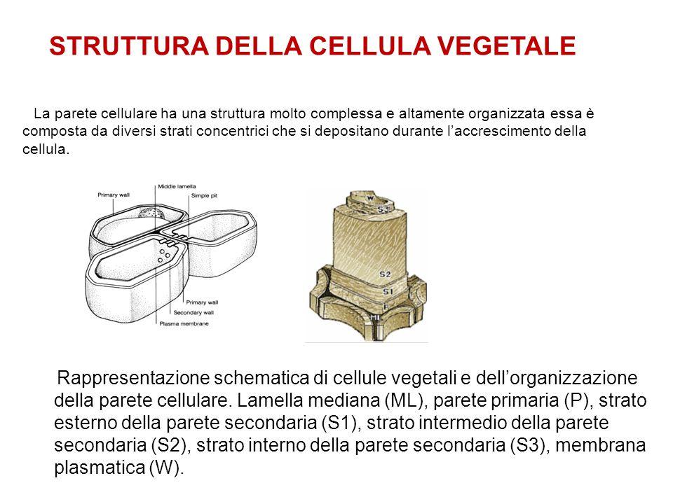 La parete cellulare ha una struttura molto complessa e altamente organizzata essa è composta da diversi strati concentrici che si depositano durante l