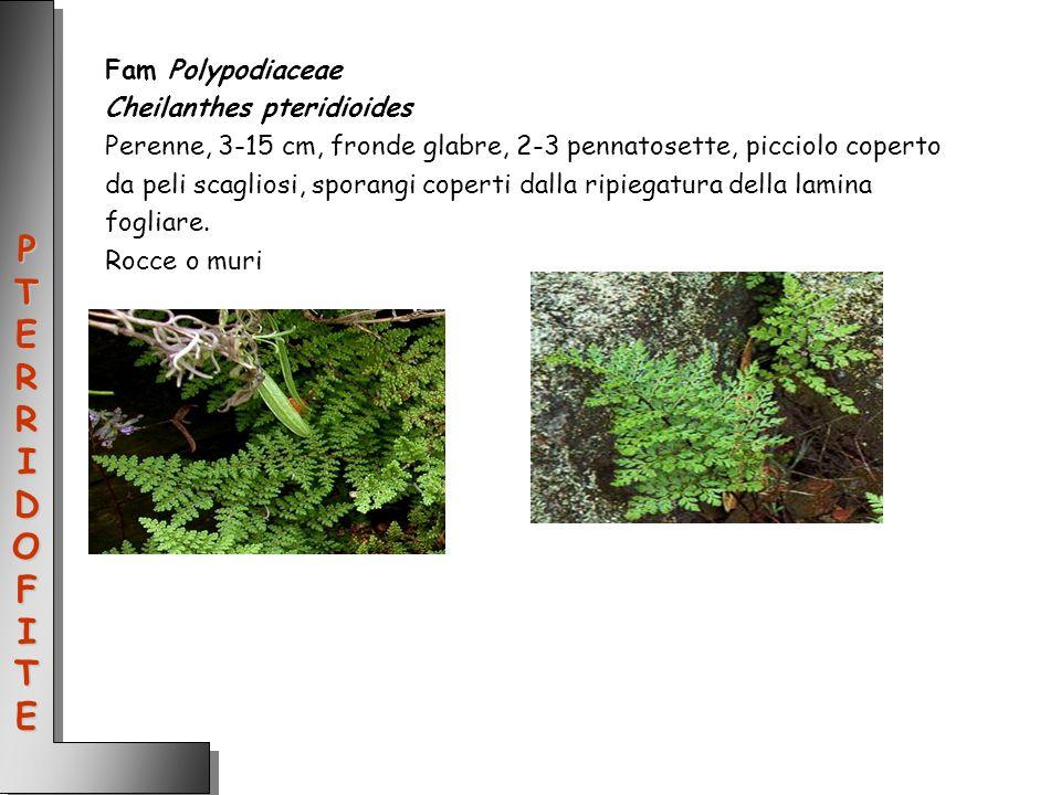 Fam Polypodiaceae Cheilanthes pteridioides Perenne, 3-15 cm, fronde glabre, 2-3 pennatosette, picciolo coperto da peli scagliosi, sporangi coperti dal