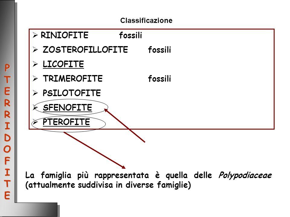 Classificazione RINIOFITEfossili ZOSTEROFILLOFITEfossili LICOFITE TRIMEROFITEfossili PSILOTOFITE SFENOFITE PTEROFITE La famiglia più rappresentata è q