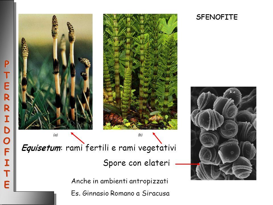 Equisetum: rami fertili e rami vegetativi Spore con elateri PTERRIDOFITEPTERRIDOFITEPTERRIDOFITEPTERRIDOFITE SFENOFITE Anche in ambienti antropizzati
