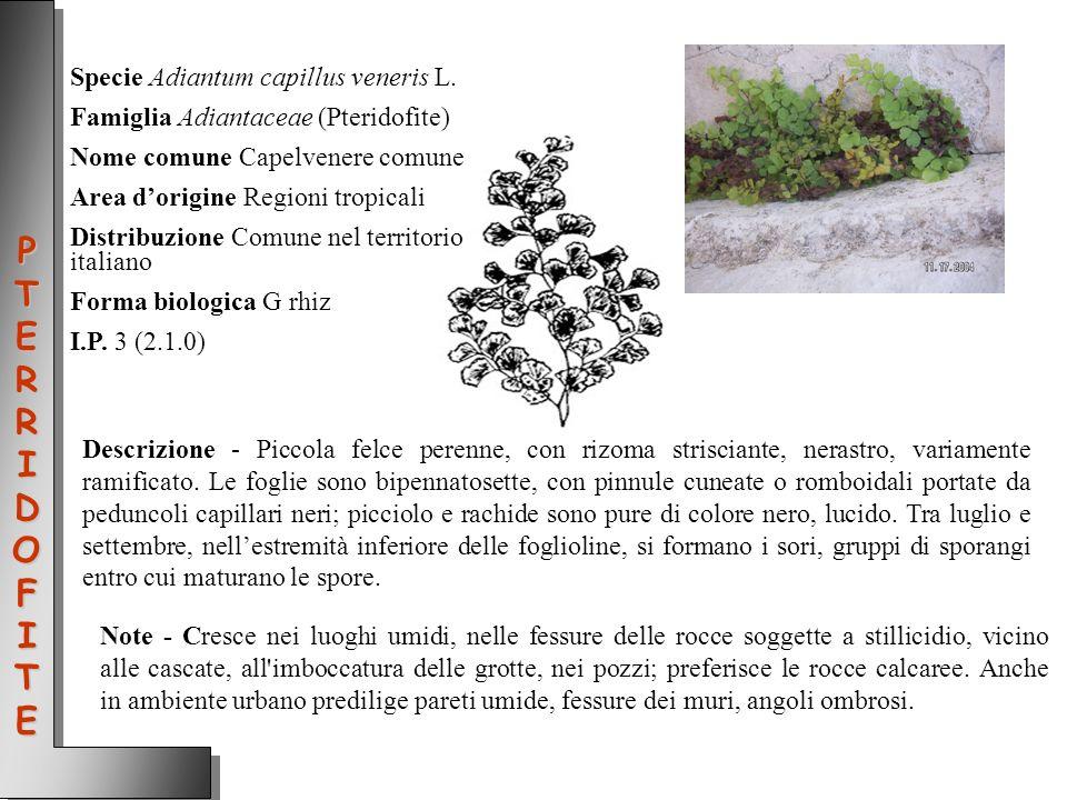 Specie Adiantum capillus veneris L. Famiglia Adiantaceae (Pteridofite) Nome comune Capelvenere comune Area dorigine Regioni tropicali Distribuzione Co