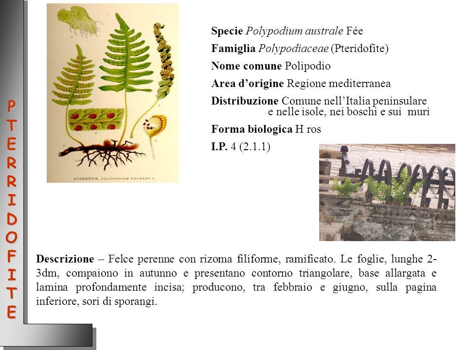 Specie Polypodium australe Fée Famiglia Polypodiaceae (Pteridofite) Nome comune Polipodio Area dorigine Regione mediterranea Distribuzione Comune nell