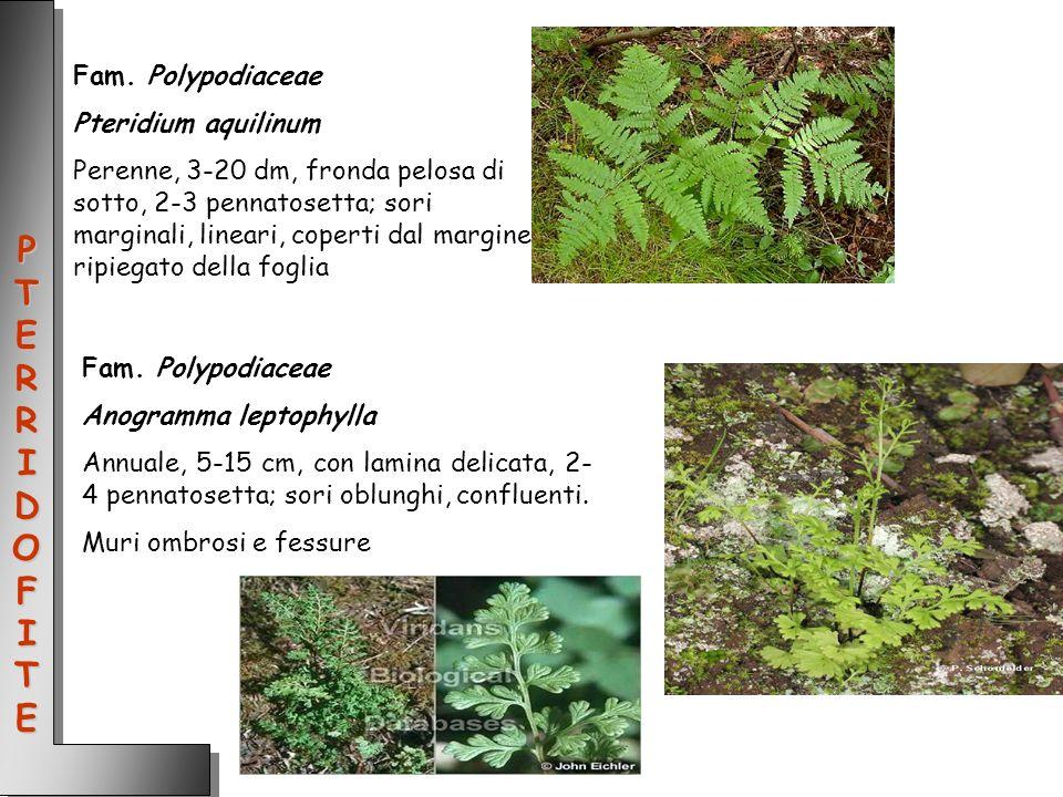 Fam. Polypodiaceae Pteridium aquilinum Perenne, 3-20 dm, fronda pelosa di sotto, 2-3 pennatosetta; sori marginali, lineari, coperti dal margine ripieg