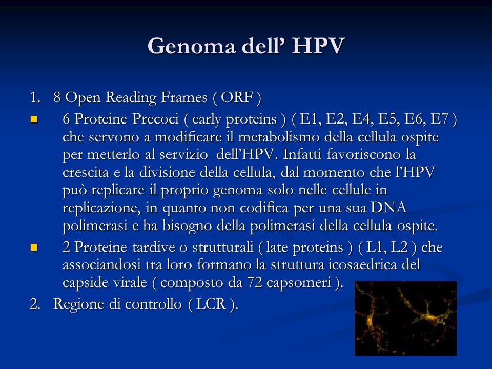 Genoma dell HPV 1. 8 Open Reading Frames ( ORF ) 6 Proteine Precoci ( early proteins ) ( E1, E2, E4, E5, E6, E7 ) che servono a modificare il metaboli