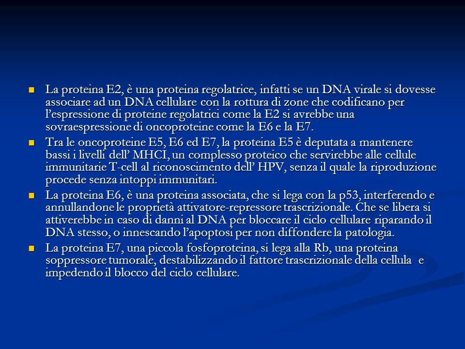 La proteina E2, è una proteina regolatrice, infatti se un DNA virale si dovesse associare ad un DNA cellulare con la rottura di zone che codificano pe