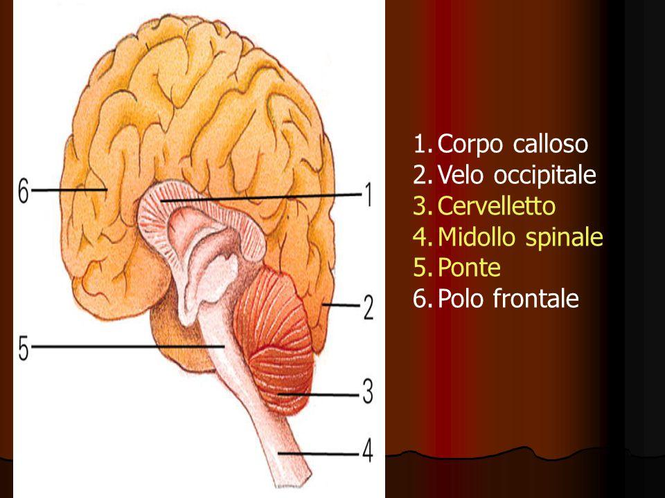 Sistema nervoso Caratteristica del SNC umano è lo sviluppo e lalto grado di specializzazione della corteccia ( Cervello) che è deputata ad analizzare gli impulsi sensoriali e viscerali, integrare le informazioni trasformandole in risposte muscolari e ghiandolari efficienti.