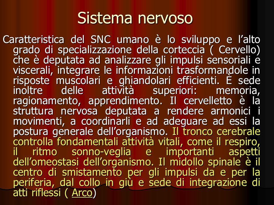 Sistema nervoso Caratteristica del SNC umano è lo sviluppo e lalto grado di specializzazione della corteccia ( Cervello) che è deputata ad analizzare