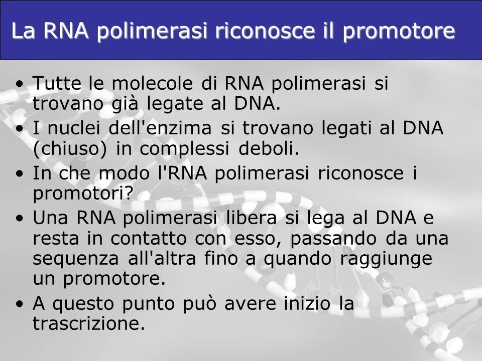 La RNA polimerasi riconosce il promotore Tutte le molecole di RNA polimerasi si trovano già legate al DNA. I nuclei dell'enzima si trovano legati al D