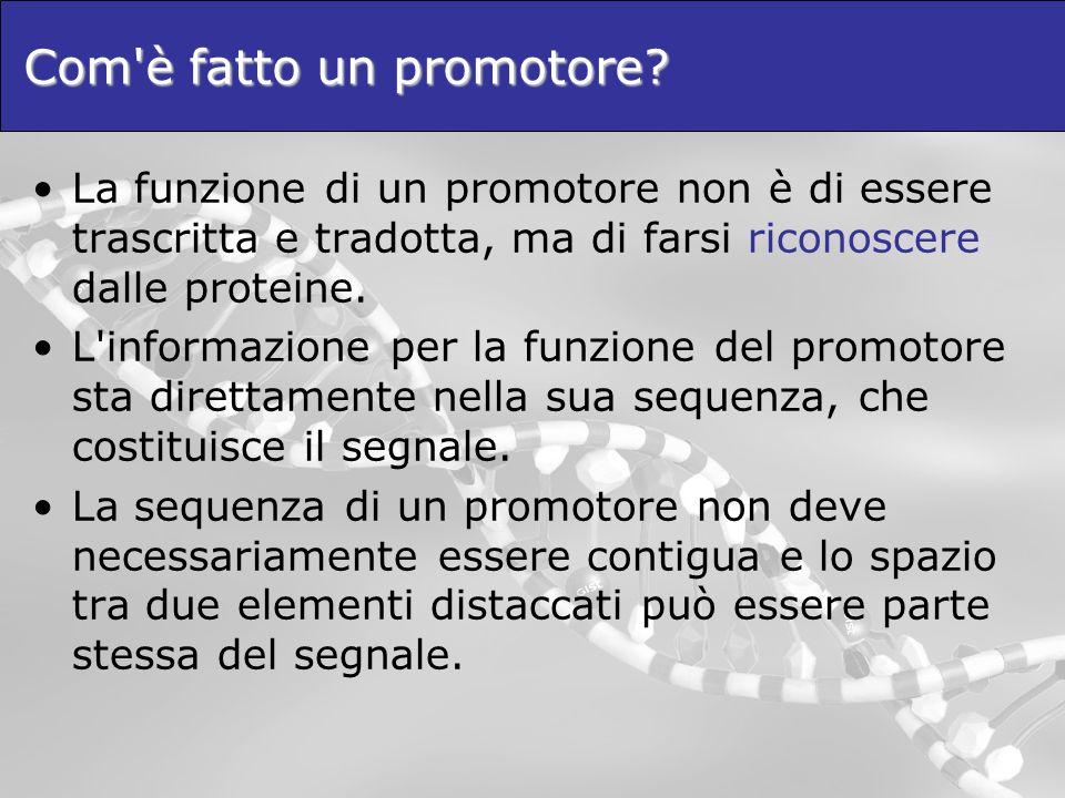 Com'è fatto un promotore? La funzione di un promotore non è di essere trascritta e tradotta, ma di farsi riconoscere dalle proteine. L'informazione pe