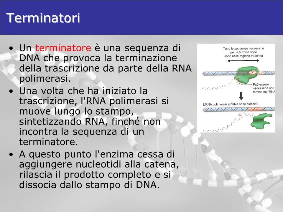 Terminatori Un terminatore è una sequenza di DNA che provoca la terminazione della trascrizione da parte della RNA polimerasi. Una volta che ha inizia