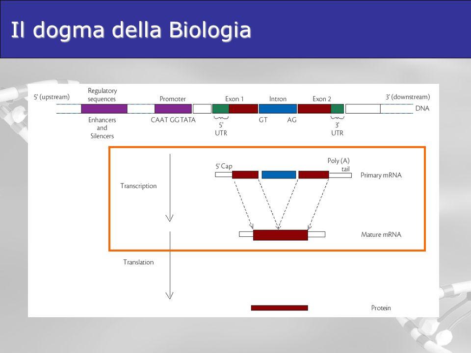 La trascrizione La trascrizione produce una catena di RNA identica nella sequenza ad un tratto di filamento di DNA codificante e complementare al filamento stampo su cui avviene la sua sintesi.
