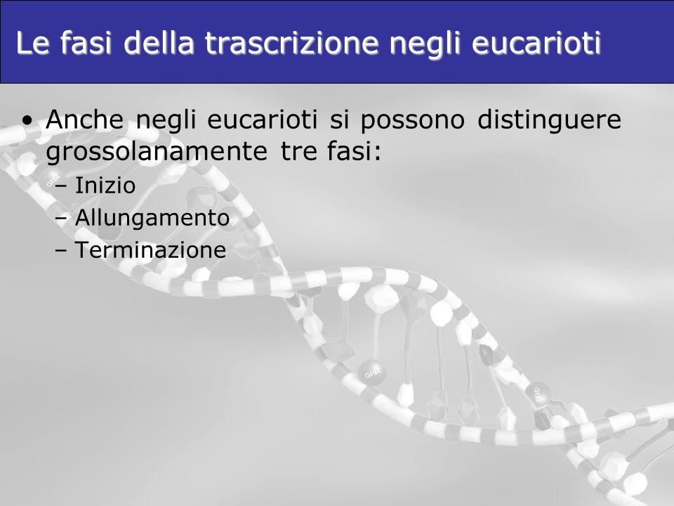 Le fasi della trascrizione negli eucarioti Anche negli eucarioti si possono distinguere grossolanamente tre fasi: –Inizio –Allungamento –Terminazione