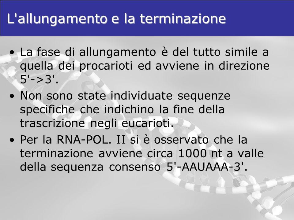 L'allungamento e la terminazione La fase di allungamento è del tutto simile a quella dei procarioti ed avviene in direzione 5'->3'. Non sono state ind