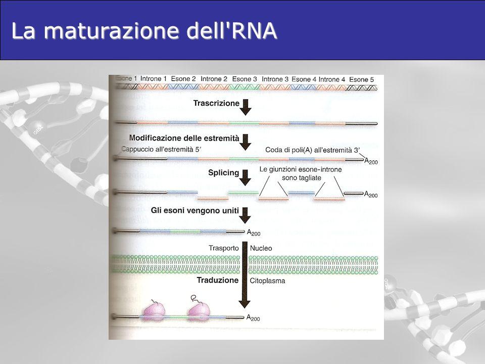 La maturazione dell'RNA