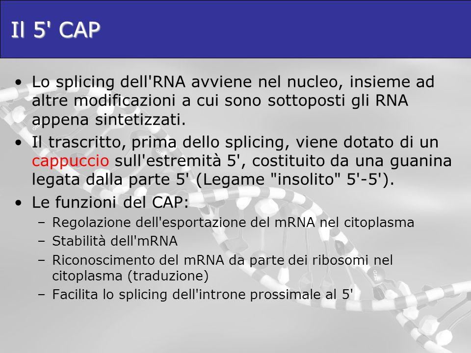 Il 5' CAP Lo splicing dell'RNA avviene nel nucleo, insieme ad altre modificazioni a cui sono sottoposti gli RNA appena sintetizzati. Il trascritto, pr