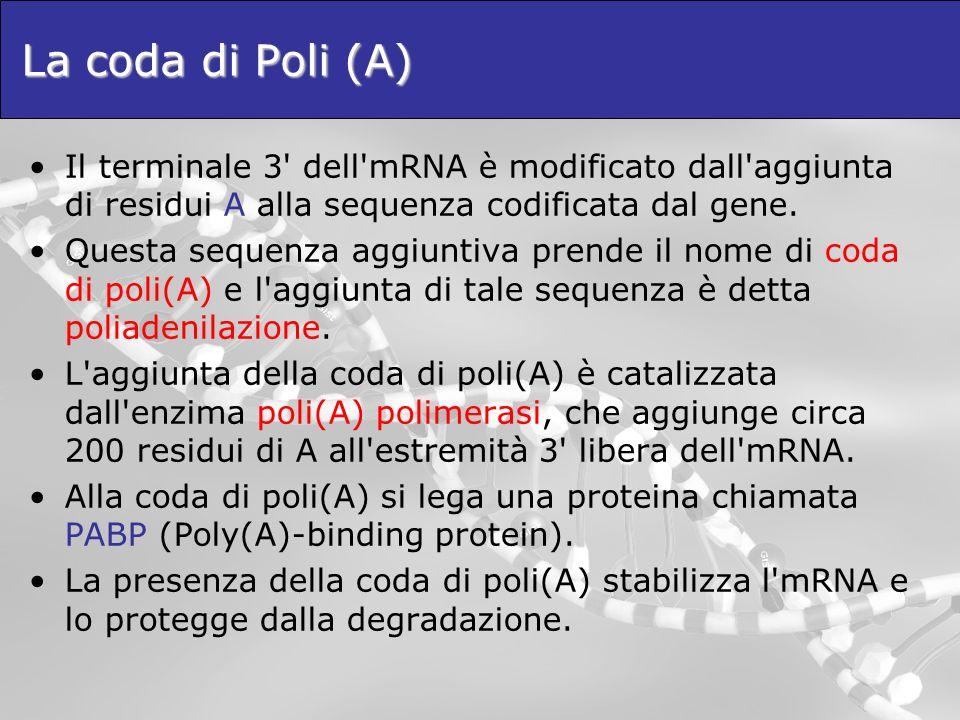 La coda di Poli (A) Il terminale 3' dell'mRNA è modificato dall'aggiunta di residui A alla sequenza codificata dal gene. Questa sequenza aggiuntiva pr