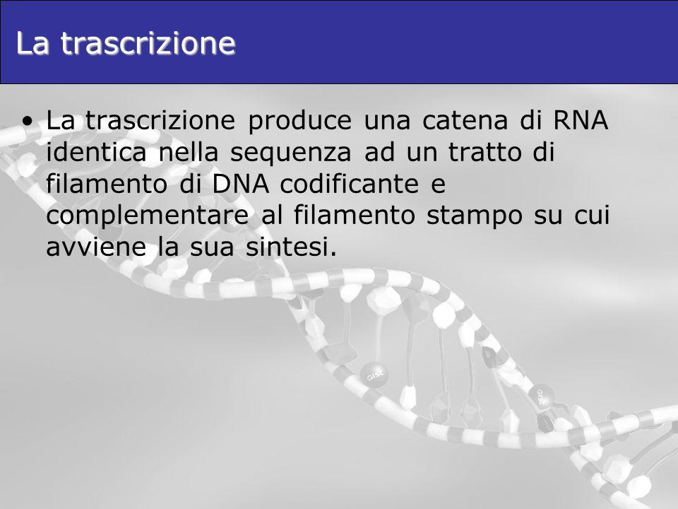 La trascrizione La trascrizione produce una catena di RNA identica nella sequenza ad un tratto di filamento di DNA codificante e complementare al fila