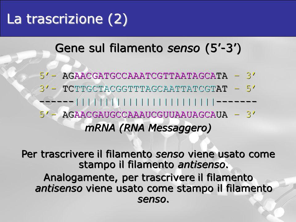 La trascrizione (2) Gene sul filamento senso (5-3) 5- AGAACGATGCCAAATCGTTAATAGCATA – 3 3- TCTTGCTACGGTTTAGCAATTATCGTAT – 5 ------|||||||||||||||||||||
