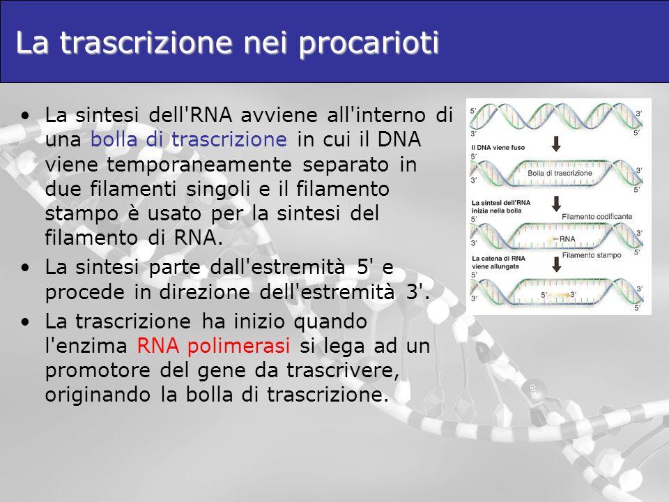 La trascrizione nei procarioti La sintesi dell'RNA avviene all'interno di una bolla di trascrizione in cui il DNA viene temporaneamente separato in du