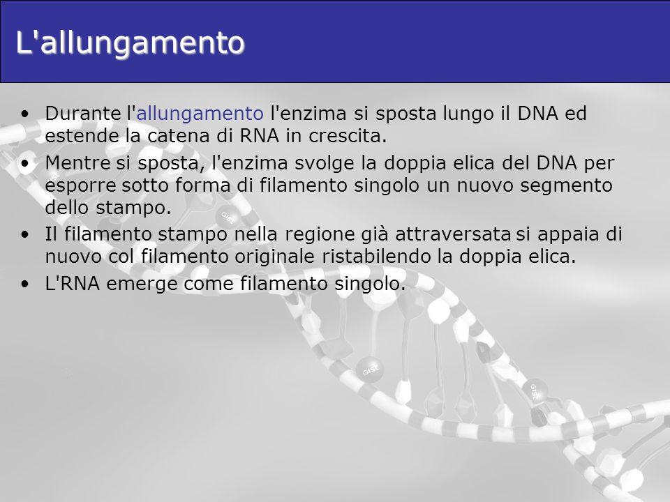 L'allungamento Durante l'allungamento l'enzima si sposta lungo il DNA ed estende la catena di RNA in crescita. Mentre si sposta, l'enzima svolge la do