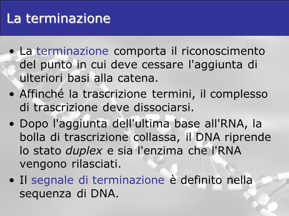La terminazione La terminazione comporta il riconoscimento del punto in cui deve cessare l'aggiunta di ulteriori basi alla catena. Affinché la trascri