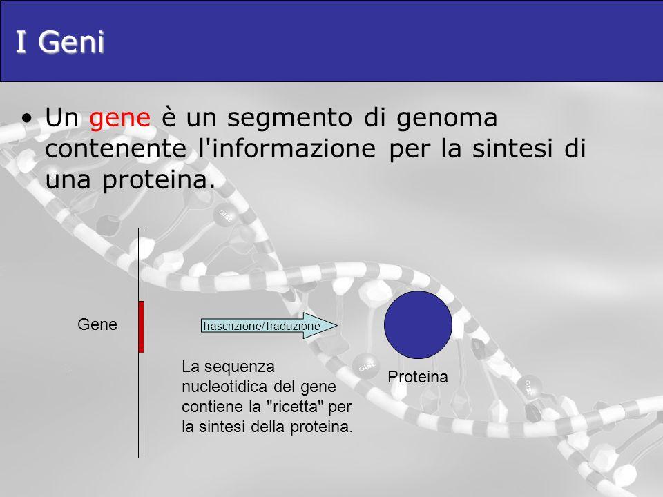 I Geni Un gene è un segmento di genoma contenente l'informazione per la sintesi di una proteina. Trascrizione/Traduzione Gene Proteina La sequenza nuc