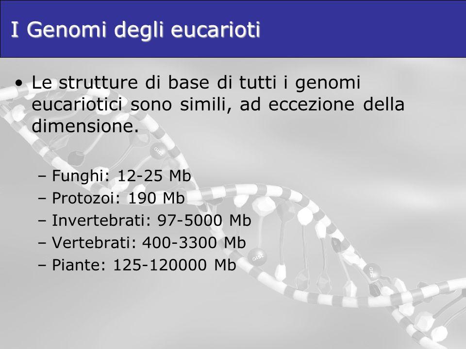 I Genomi degli eucarioti Le strutture di base di tutti i genomi eucariotici sono simili, ad eccezione della dimensione. –Funghi: 12-25 Mb –Protozoi: 1