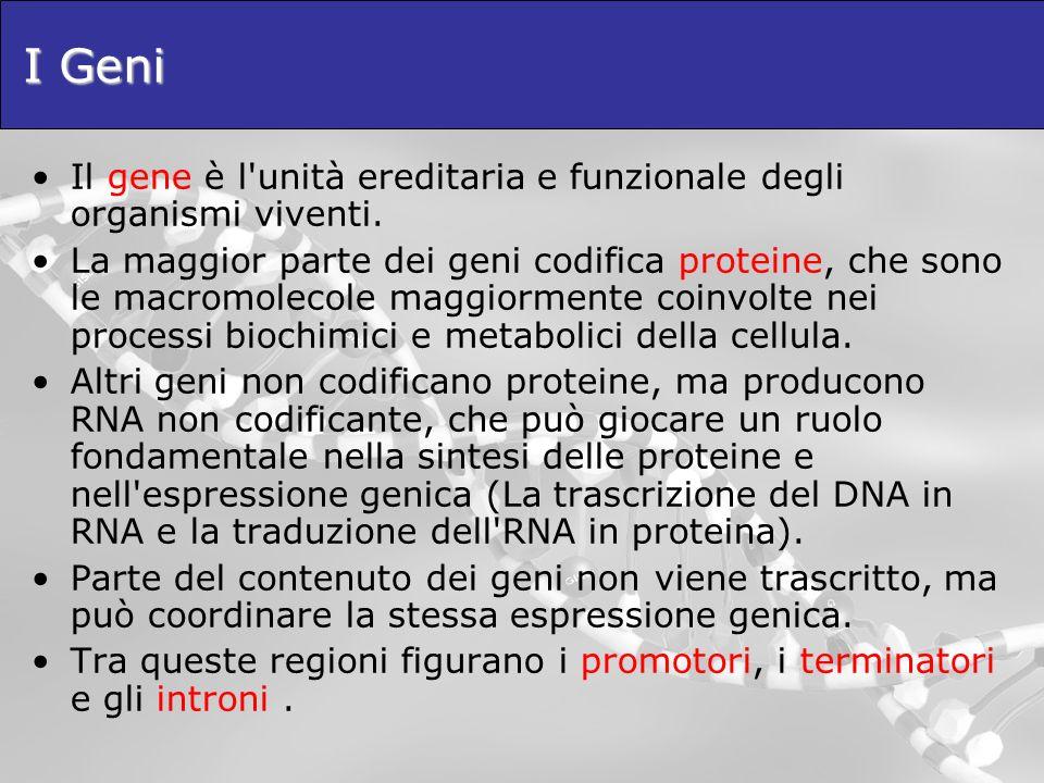 I Geni Il gene è l'unità ereditaria e funzionale degli organismi viventi. La maggior parte dei geni codifica proteine, che sono le macromolecole maggi