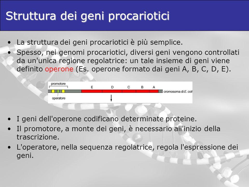 Struttura dei geni procariotici La struttura dei geni procariotici è più semplice. Spesso, nei genomi procariotici, diversi geni vengono controllati d