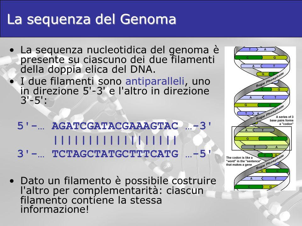 La sequenza del Genoma La sequenza nucleotidica del genoma è presente su ciascuno dei due filamenti della doppia elica del DNA. I due filamenti sono a