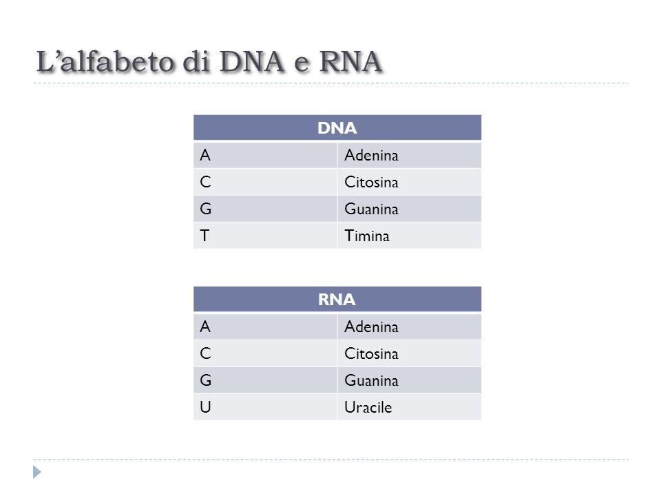 Lalfabeto di DNA e RNA DNA AAdenina CCitosina GGuanina TTimina RNA AAdenina CCitosina GGuanina UUracile