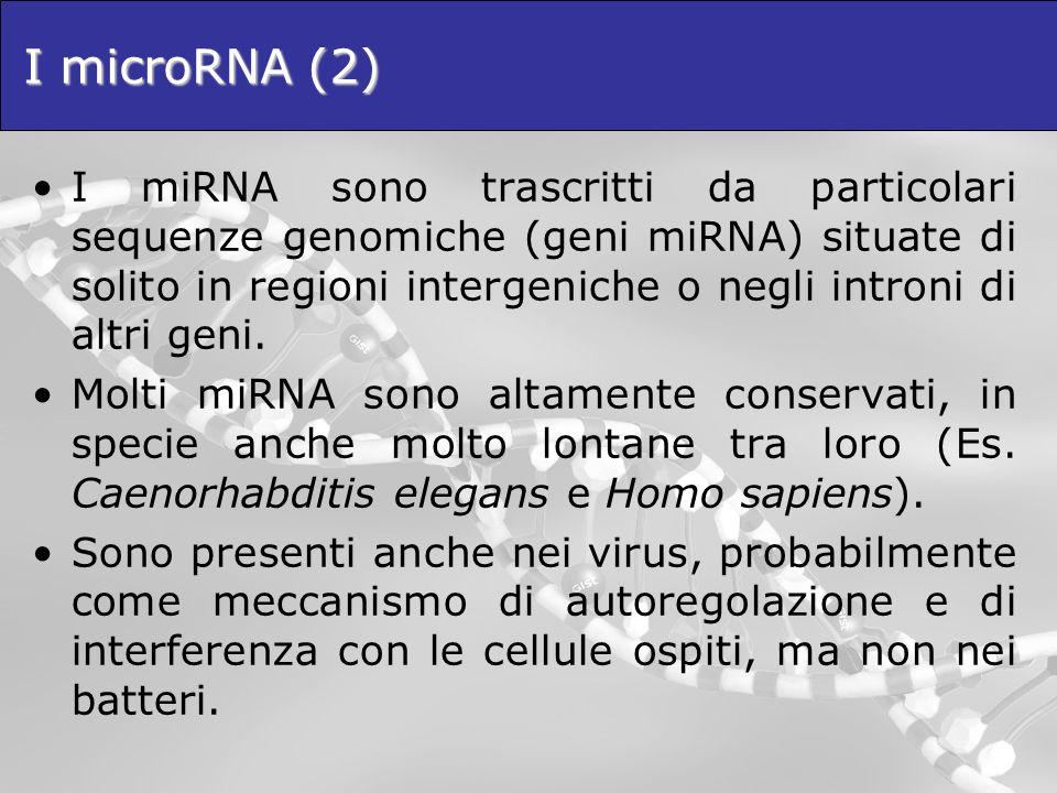 I microRNA (2) I miRNA sono trascritti da particolari sequenze genomiche (geni miRNA) situate di solito in regioni intergeniche o negli introni di alt