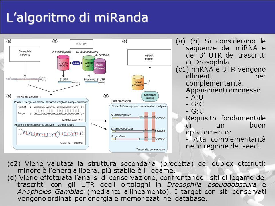 Lalgoritmo di miRanda (a) (b) Si considerano le sequenze dei miRNA e dei 3 UTR dei trascritti di Drosophila. (c1) miRNA e UTR vengono allineati per co