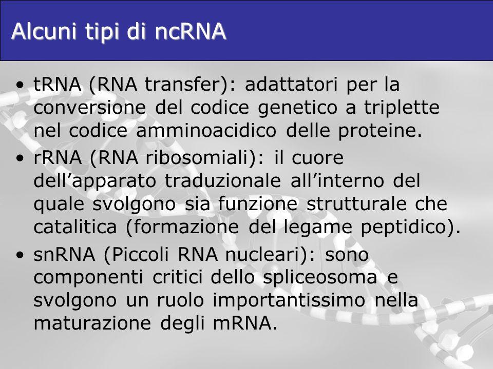 Alcuni tipi di ncRNA tRNA (RNA transfer): adattatori per la conversione del codice genetico a triplette nel codice amminoacidico delle proteine. rRNA