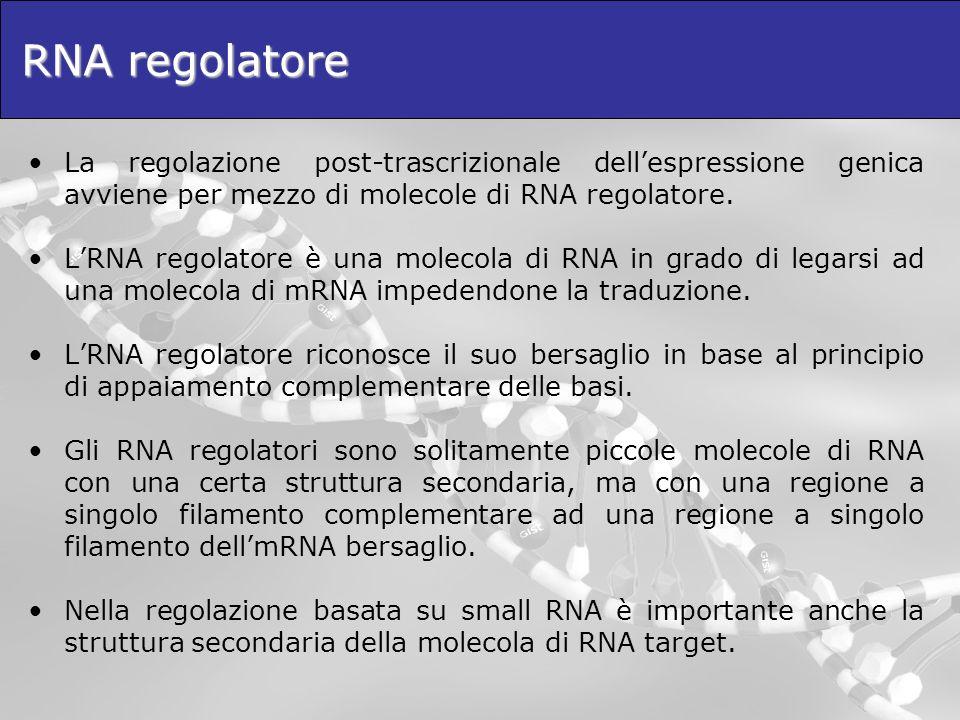 RNA regolatore e inibizione della traduzione Lappaiamento di una molecola di RNA regolatore ad una regione a singolo filamento di mRNA può provocare: –Linibizione della traduzione senza distruzione della molecola di mRNA –La degradazione della molecola di mRNA In entrambi i casi si ha il silenziamento del gene, il cui effetto è la mancata produzione della proteina corrispondente.