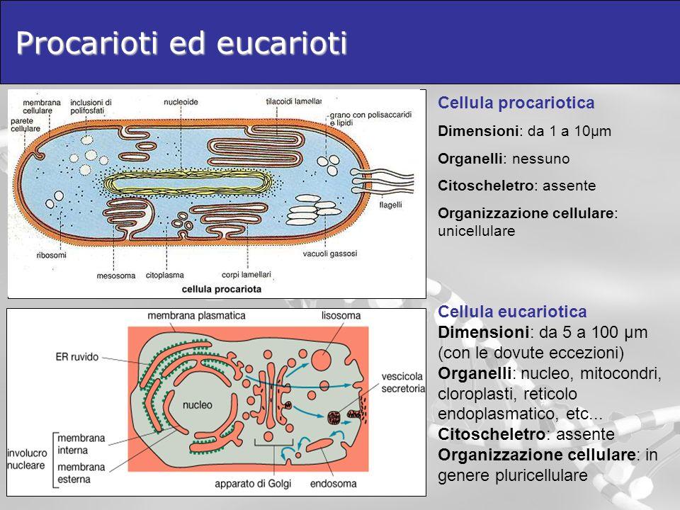 Procarioti ed eucarioti Cellula eucariotica Dimensioni: da 5 a 100 μm (con le dovute eccezioni) Organelli: nucleo, mitocondri, cloroplasti, reticolo e
