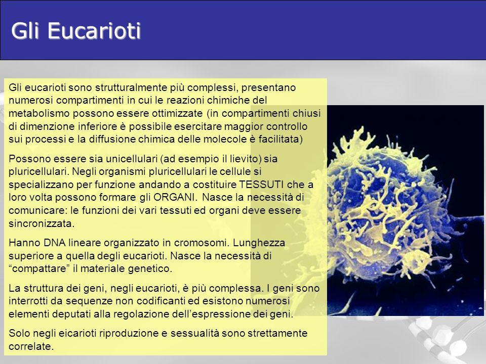 Gli Eucarioti Gli eucarioti sono strutturalmente più complessi, presentano numerosi compartimenti in cui le reazioni chimiche del metabolismo possono