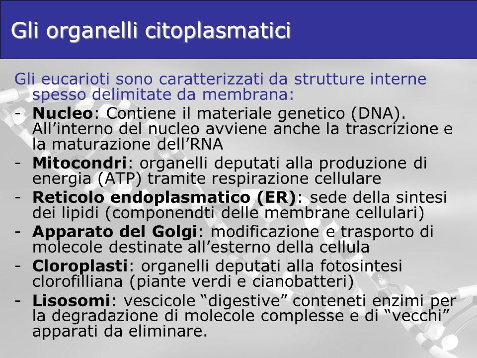 Gli organelli citoplasmatici Gli eucarioti sono caratterizzati da strutture interne spesso delimitate da membrana: -Nucleo: Contiene il materiale gene