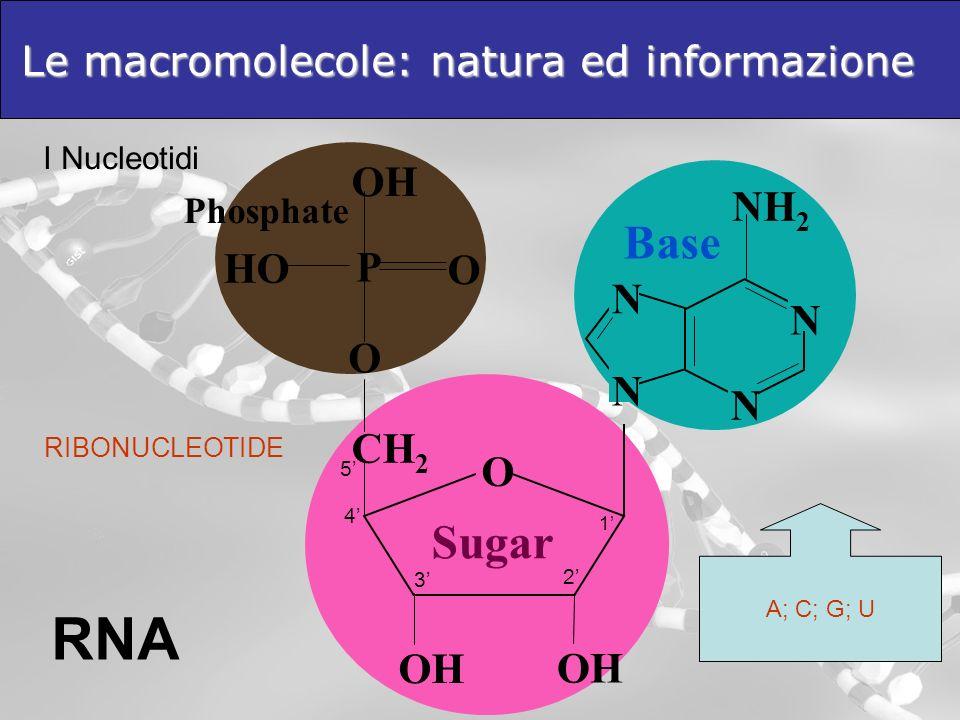 Le macromolecole: natura ed informazione I Nucleotidi RNA NH 2 N N N N Base P O OH HO O Phosphate RIBONUCLEOTIDE A; C; G; U OH O CH 2 Sugar OH 1 2 3 4