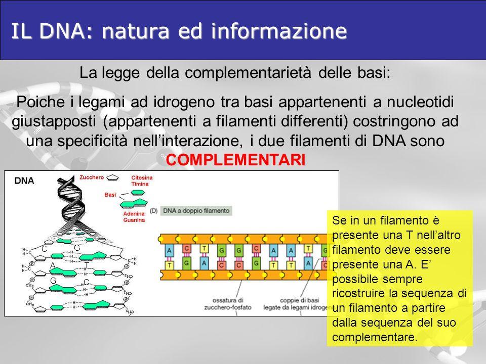 IL DNA: natura ed informazione La legge della complementarietà delle basi: Poiche i legami ad idrogeno tra basi appartenenti a nucleotidi giustapposti