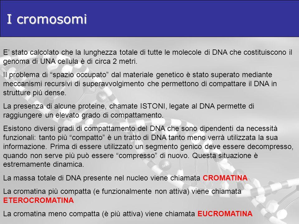 I cromosomi E stato calcolato che la lunghezza totale di tutte le molecole di DNA che costituiscono il genoma di UNA cellula è di circa 2 metri. Il pr