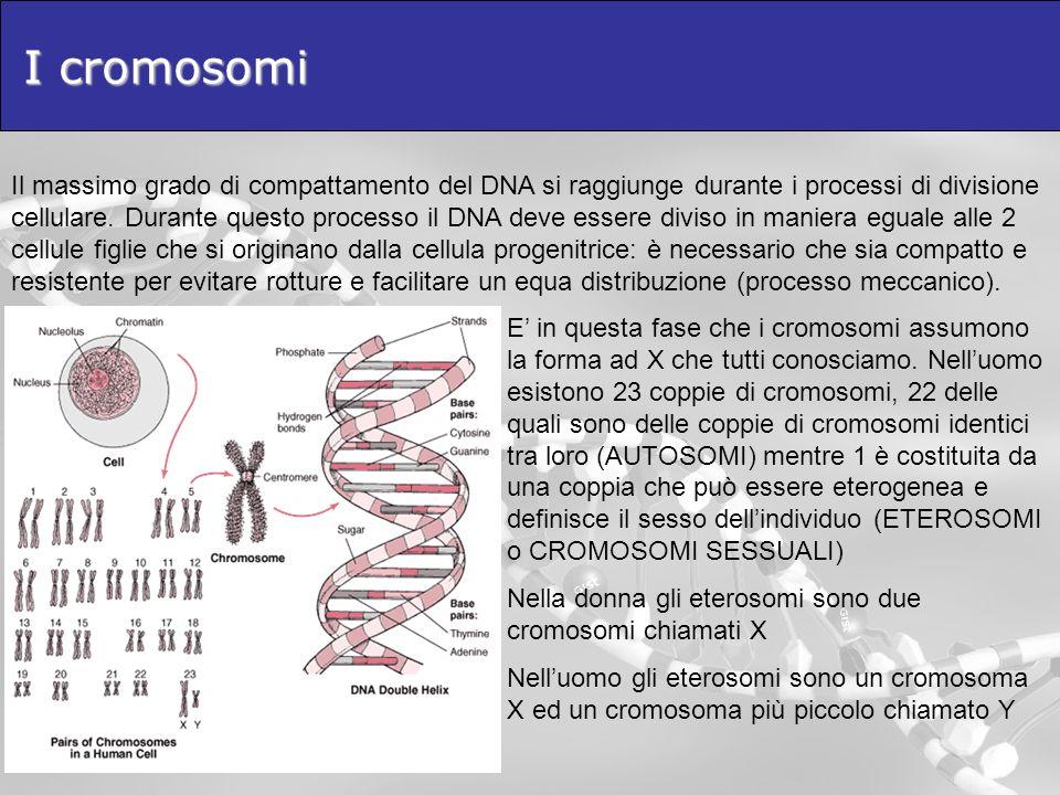 I cromosomi Il massimo grado di compattamento del DNA si raggiunge durante i processi di divisione cellulare. Durante questo processo il DNA deve esse