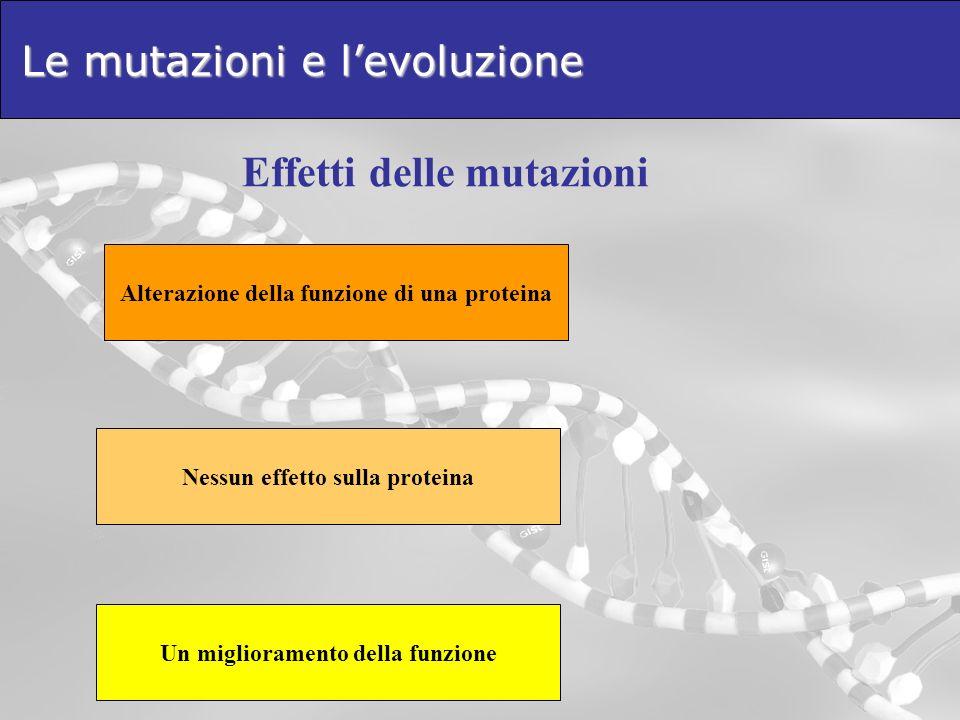 Le mutazioni e levoluzione Effetti delle mutazioni Alterazione della funzione di una proteina Nessun effetto sulla proteina Un miglioramento della fun