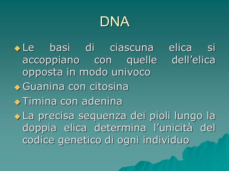 RNA Composto organico macromolecolare formato da una catena di nucleotidi uniti con legame fosfodiestere, analogamente al DNA, ma, a differenza di questo, con una struttura a catena semplice, anziché doppia Composto organico macromolecolare formato da una catena di nucleotidi uniti con legame fosfodiestere, analogamente al DNA, ma, a differenza di questo, con una struttura a catena semplice, anziché doppia L RNA ha un ruolo di primaria importanza nella biologia cellulare, in quanto responsabile delle sintesi delle proteine, di cui il DNA contiene l informazione genetica L RNA ha un ruolo di primaria importanza nella biologia cellulare, in quanto responsabile delle sintesi delle proteine, di cui il DNA contiene l informazione genetica